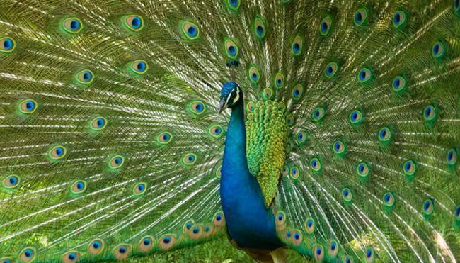 Interesting Facts About Peacocks